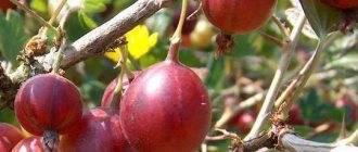 Вишня уйфехертои фюртош описание сорта история и особенности выращивания