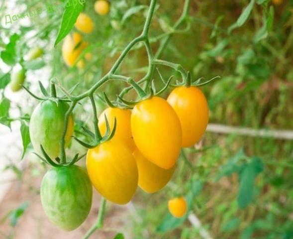 Коктейльный томат золотая рыбка: исполняет желания дачников!