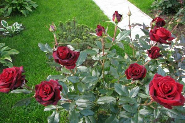 Роза черная магия (black magic) — что это за редкий сорт, описание