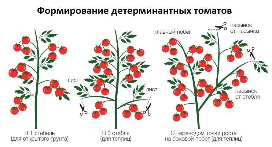 Формирование томатов в 2 стебля в теплице: технология выращивания