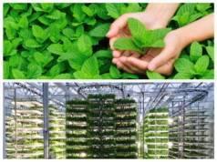 Выращивание и уход за мятой в теплице