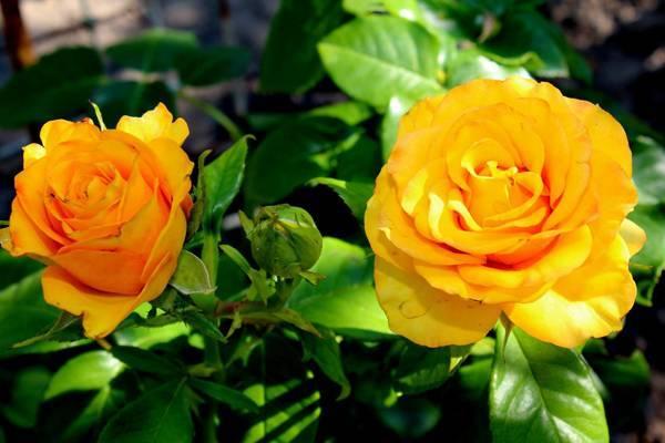 Explorer — красная чайно-гибридная роза классической формы из нидерландов