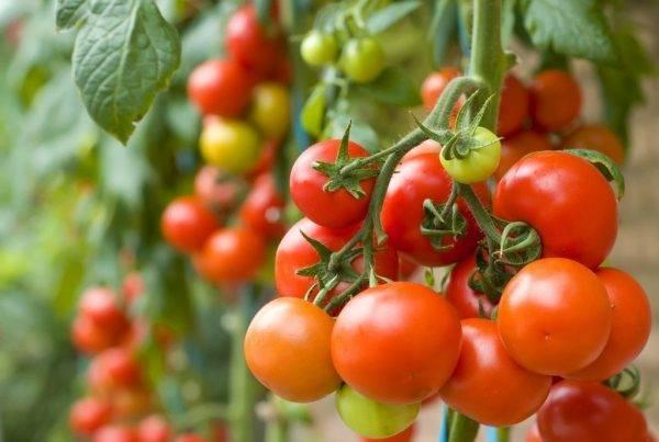 Когда высаживать рассаду помидор в открытый грунт в маю 2020 года: благоприятные дни, сроки