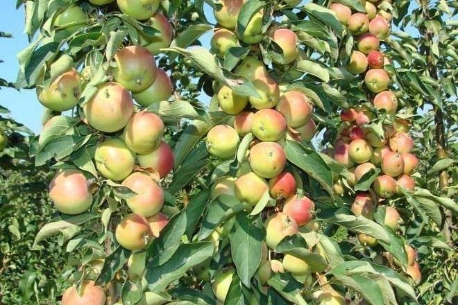 Ваша стелющаяся яблоня: уход и обрезка