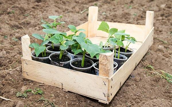 Отечественный гибрид огурцов «емеля f1»: фото, видео, описание, посадка, характеристика, урожайность, отзывы