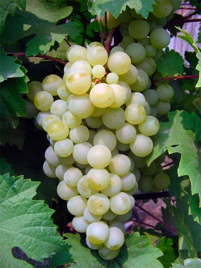 Виноград белый жемчуг описание сорта. виноград белый жемчуг