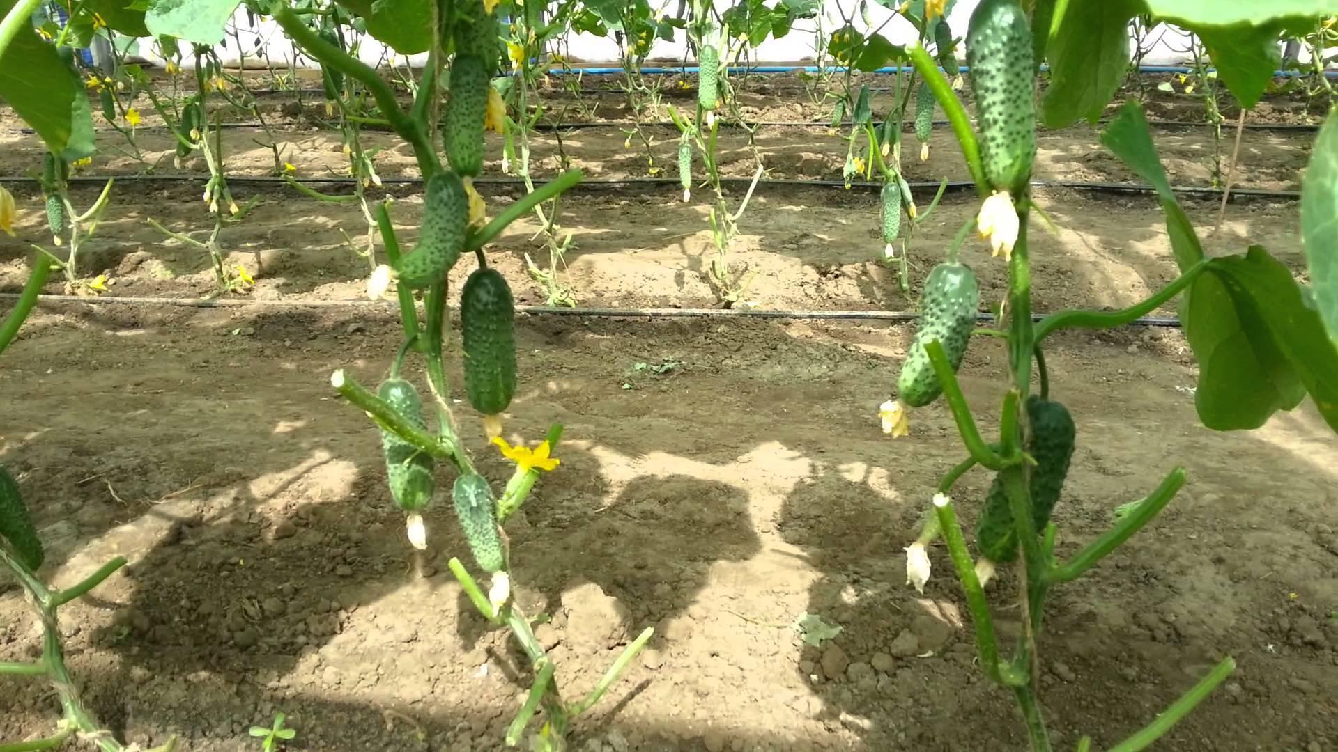 Сорт огурцов эколь f1: описание и характеристика, отзывы
