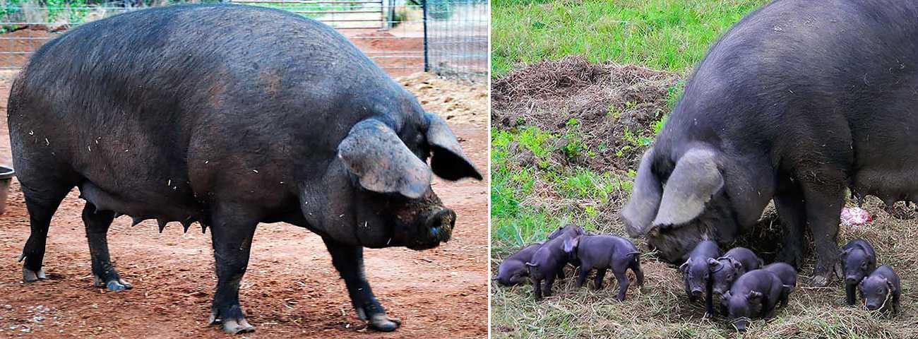 Свиньи кемеровской породы
