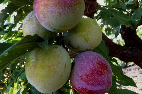 Слива персиковая — заморская гостья