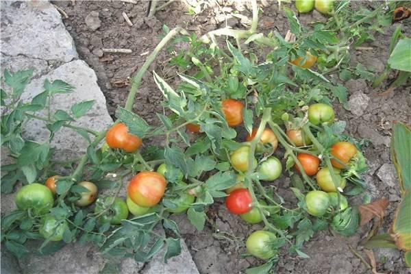 Серия томатов «сладкая гроздь»: описания и характеристика сортов