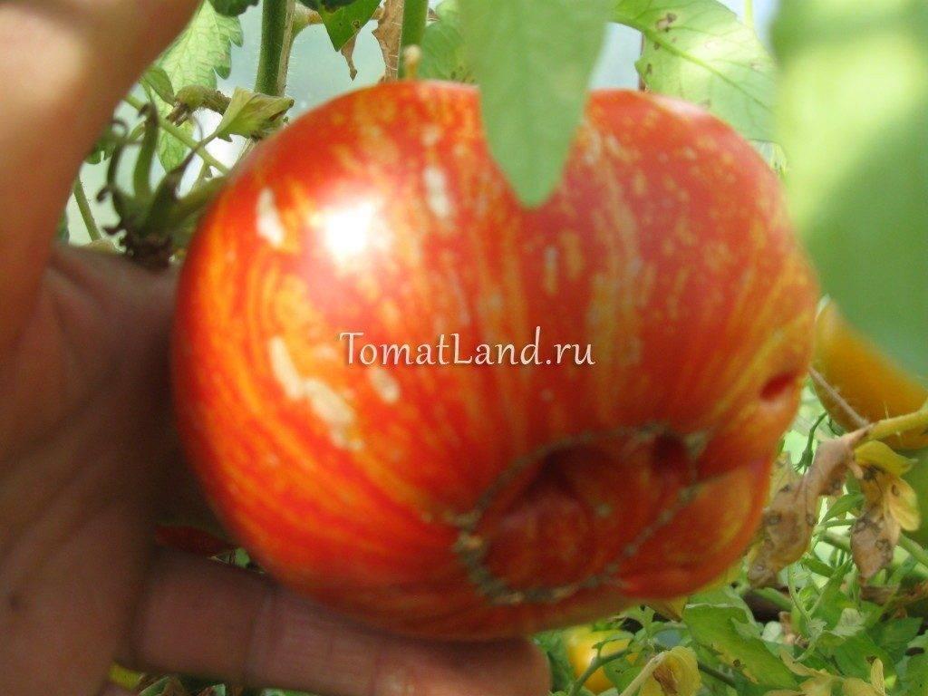 Описание сорта томата Фейерверк, его характеристика и особенности выращивания