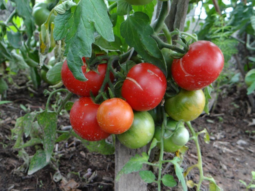 Томат лабрадор — очень много вкусных помидоров