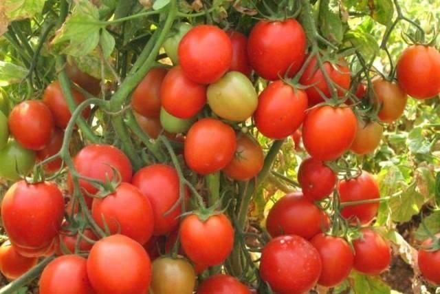 Алые паруса – высокоурожайный сорт помидоров