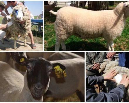Бонитировка тонкорунных овец