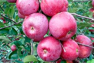 Лучшие советы по уходу и посадки яблони «мечта» — описание, плюсы и минусы сорта