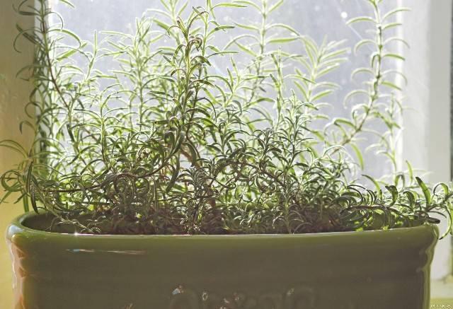 Секреты успешного выращивания розмарина на подоконнике