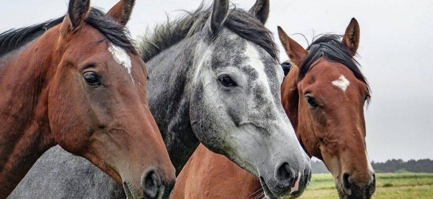 Инфекционная анемия лошадей: причины, симптомы и лечение, профилактика