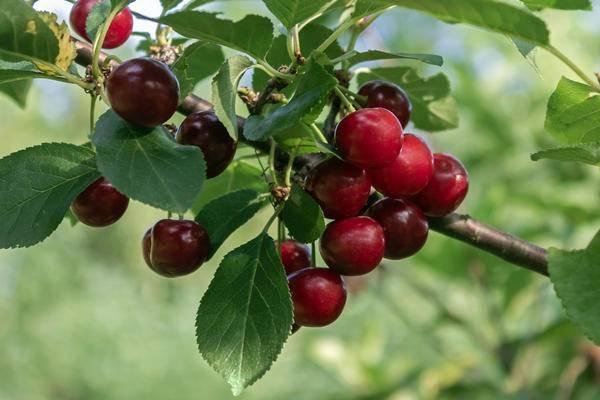 Монилиоз вишни как лечить: изучаем тщательно