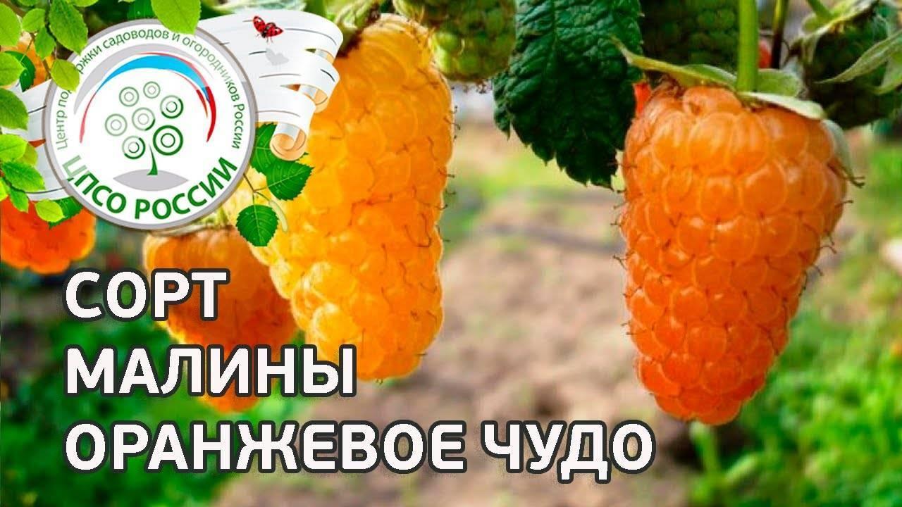 """Малина """"оранжевое чудо"""" – природная конфетка"""