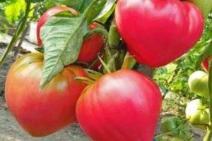 Описание сорта томата рио гранде, особенности выращивания и ухода