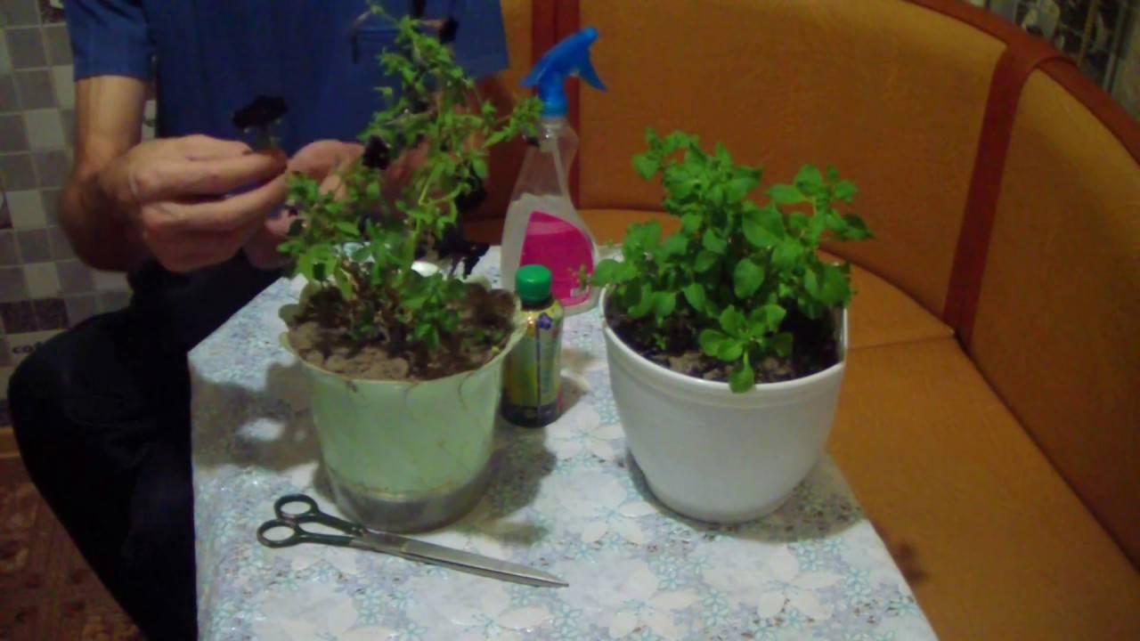 Как сохранить петунию до следующего лета в домашних условиях: можно ли выращивать растение зимой на подоконнике квартиры до весны будущего года?