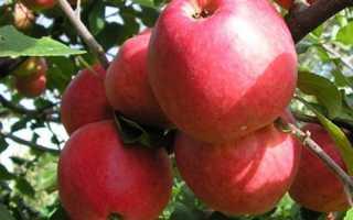 Скороплодная яблоня десертное исаева