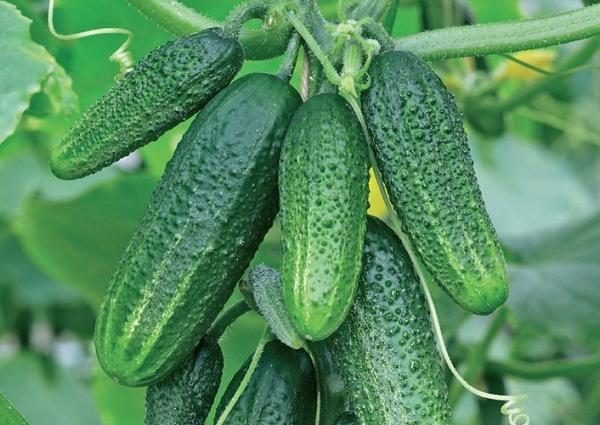 Как правильно выращивать голландский гибрид огурцов «трилоджи f1», чтобы добиться хорошего урожая