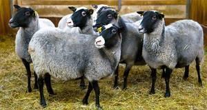 Выгодно ли разведение баранов и условия быстрой прибыли