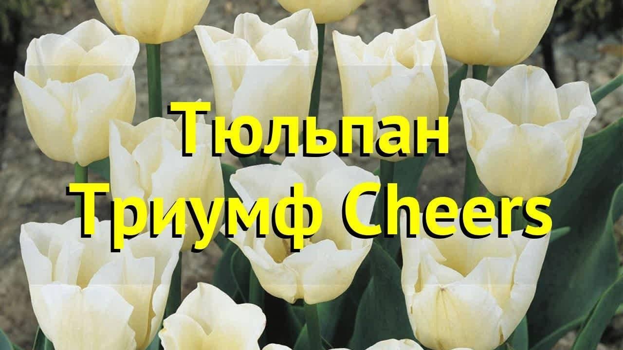 Тюльпаны «династия»: описание и правила выращивания