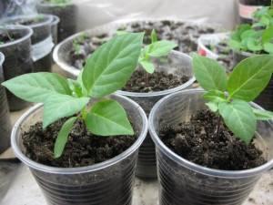 Выращивание декоративного растения датура на садовом участке
