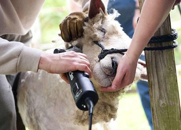 Как точить ножницы для стрижки овец: топ-5 способов в домашних условиях