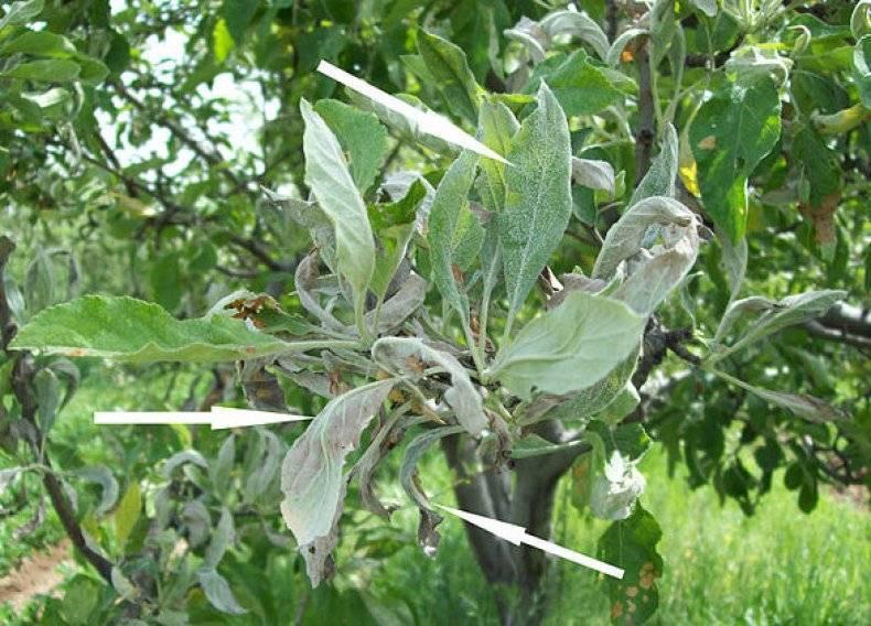 Мучнистая роса на овощах — методы профилактики и лечения