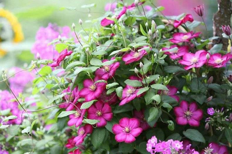 Ярко-красный крупноцветковый клематис «эрнест маркхем»