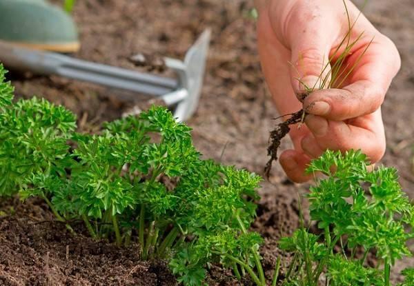 Выращиваем петрушку
