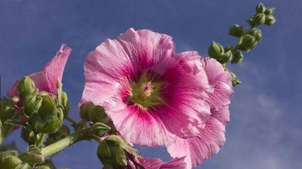Мальва многолетняя: размножение семенами и уход за растением