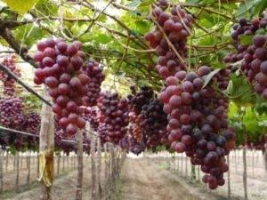 Заря несветая — сорт винограда