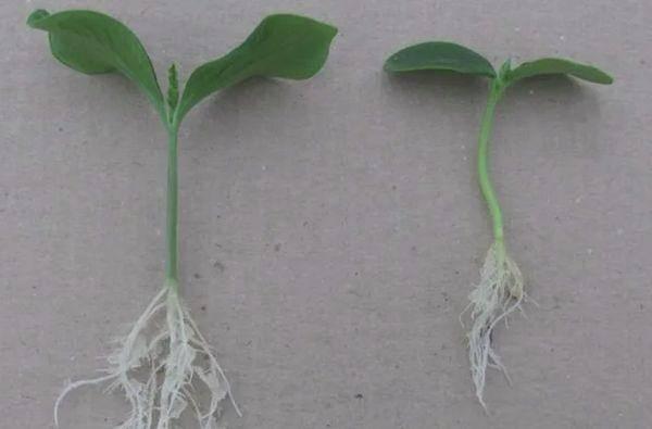 Длина и схема строения корневой системы огурцов, как правильно окучивать