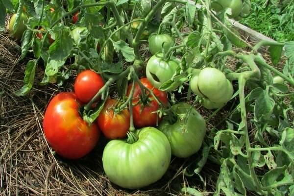 Характеристика и описание сорта томата Диковинка, его урожайность