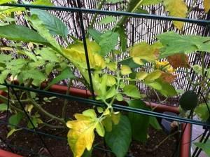 6 основных причин появления желтых пятен на рассаде томатов