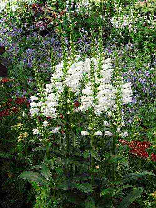 Цветок физостегия — уход в открытом грунте