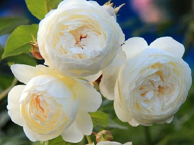 Роза клэр остин