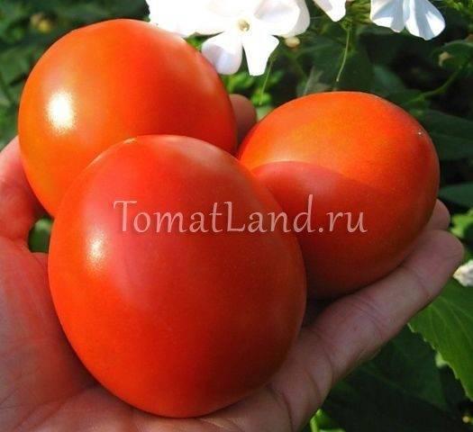 Описание сорта томата Лорд, особенности выращивания и уход