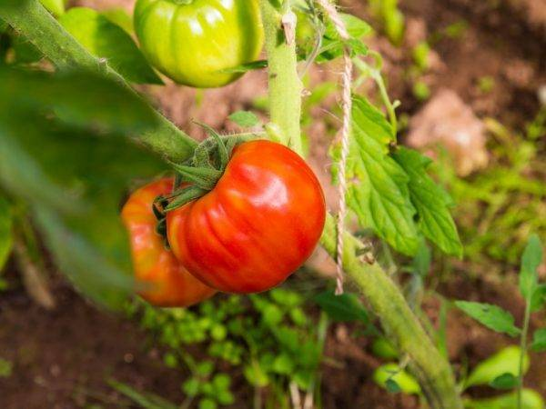 Томат огородник — сорт помидор с фото и описанием