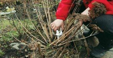 Правила подготовки аквилегии к зиме, нужно ли обрезать осенью