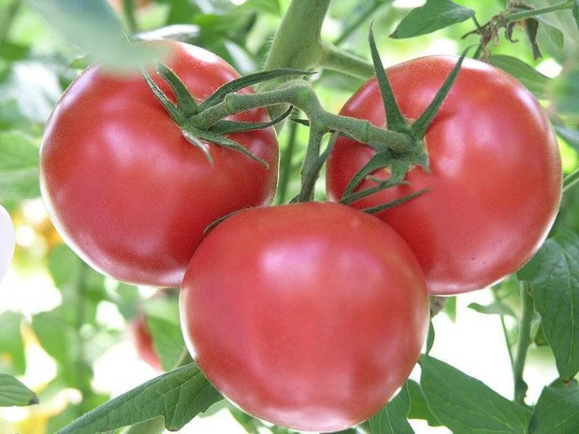Признанный любимец среди огородников — томат «розовые щечки»
