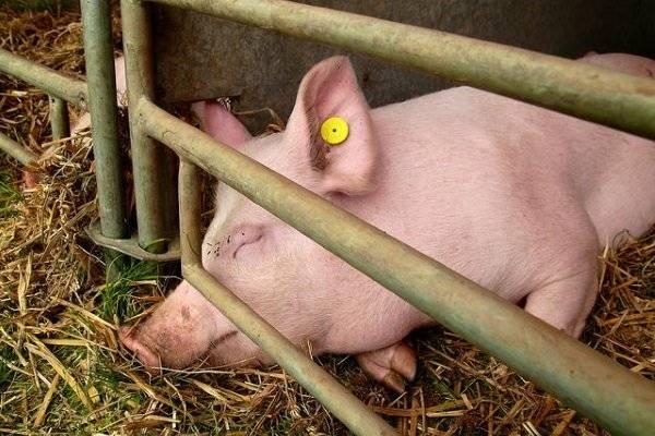 Как проявляется и лечится пастереллез у свиней