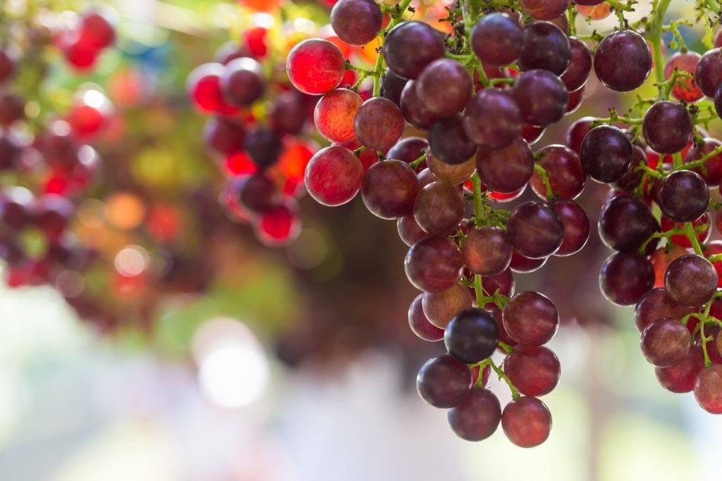 Виноград граф монтекристо описание сорта фото отзывы