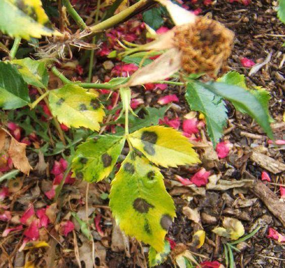 Серая гниль на розах, меры борьбы и лечение