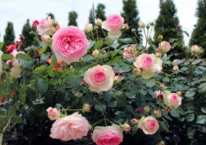 Характеристики розы пьер де ронсар