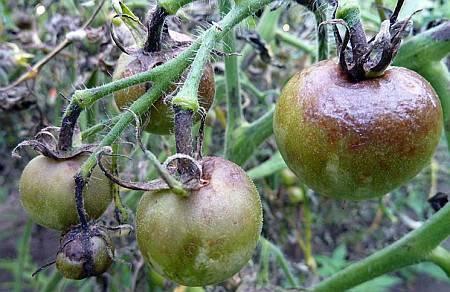 Почему чернеют плоды помидора: определяем и устраняем причины